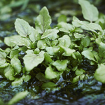 41_Wild_Watercress_002.jpg