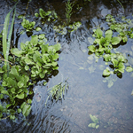 41_Wild_Watercress_001.jpg